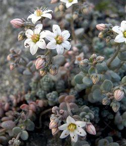 Sedumdasyphyllum3