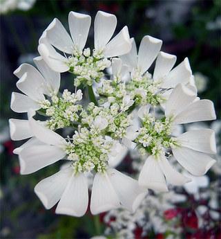 Orlayagrandiflora4