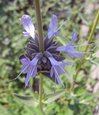 Salviaclevelandii1