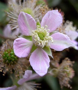 Rubusfruticosus2