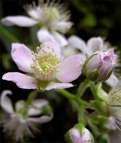 Rubusfruticosus3