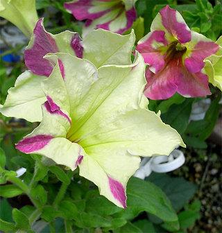 Petuniasophistica1