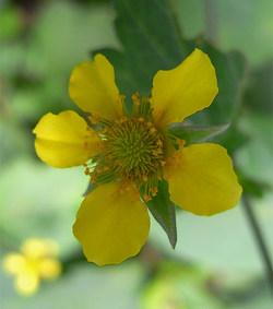 Geumjaponicum2