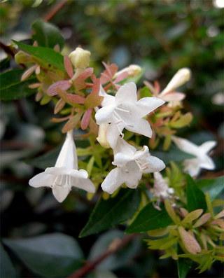 Abeliagrandiflora8