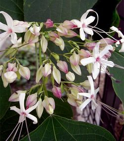 Clerodendrontrichotomum11_2