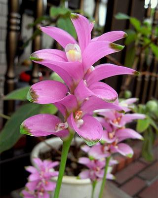 Curcumaalismatifolia1