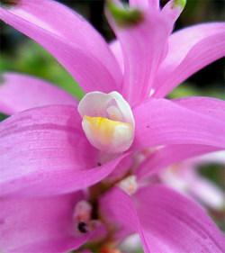 Curcumaalismatifolia2