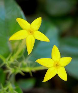 Mussaendparviflora2