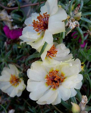 Portulacagrandiflora1