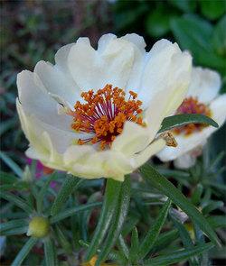 Portulacagrandiflora2