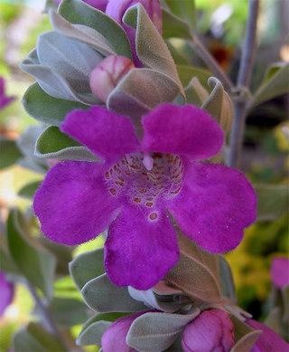 Leucophyllumfrutescens1