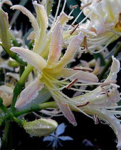 Lycorisalbiflora2