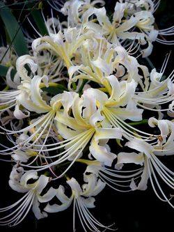 Lycorisalbiflora3