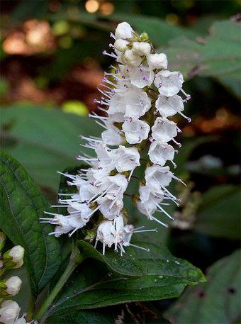 Keiskeajaponica1