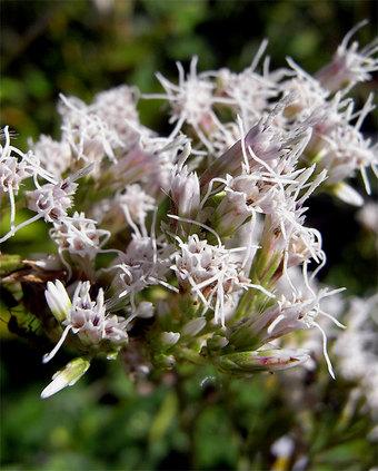 Eupatoriumlindleyanum1