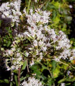 Eupatoriumlindleyanum2