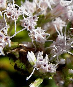 Eupatoriumlindleyanum3