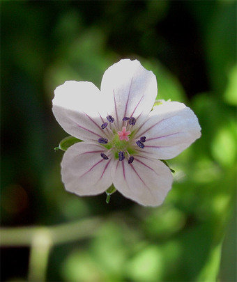 Geraniumthunbergii14