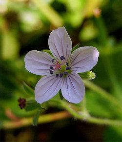 Geraniumthunbergii15_2