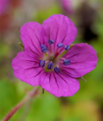 Geraniumthunbergii16