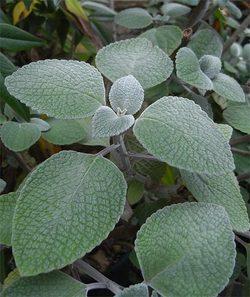 Plectranthusargentatus5