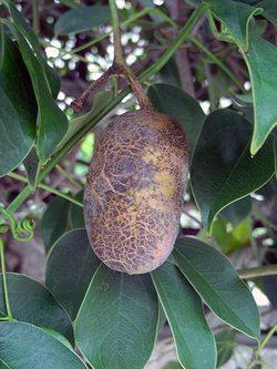 Stauntoniahexaphylla9