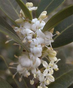 Osmanthusheterophyllus2