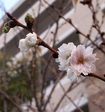 Prunusautumnalis3