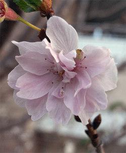 Prunusautumnalis4