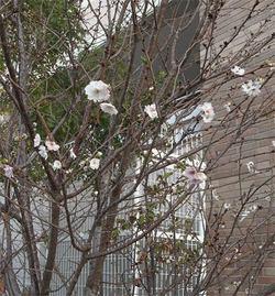 Prunusautumnalis5