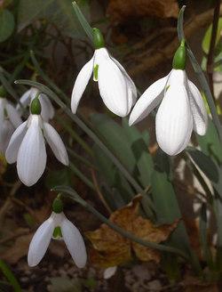 Galanthusmonostictus2