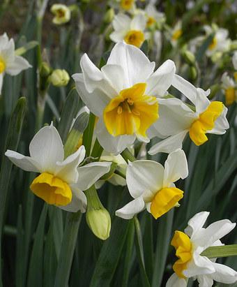 Narcissustazetta7