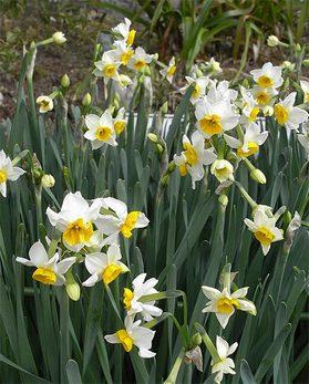 Narcissustazetta8