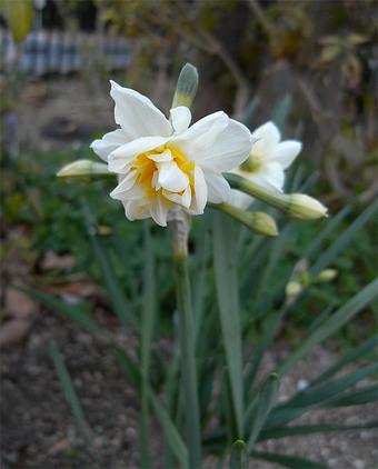 Narcissustazettaplena3