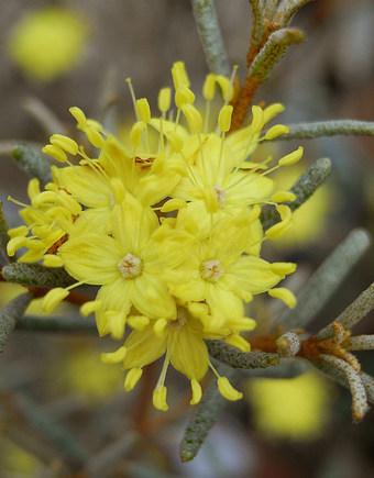 Phebaliumsquamulosum1