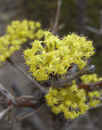 Cornusofficinalis1