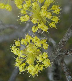 Cornusofficinalis2