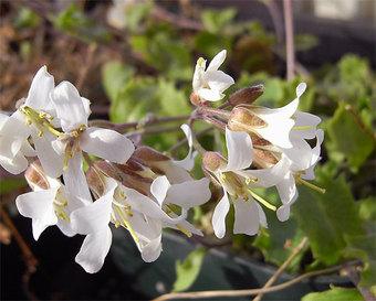 Arabisflagellosa10