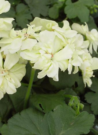Pelargoniumfirstyellow1