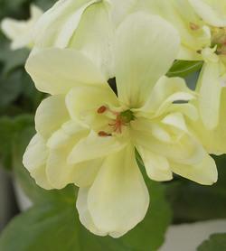 Pelargoniumfirstyellow2