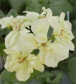 Pelargoniumfirstyellow3_2