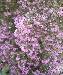 Ericacanaliculata5