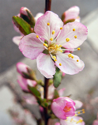 Prunusjaponica1