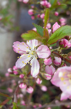 Prunusjaponica2