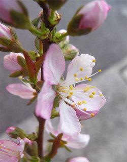 Prunusjaponica3