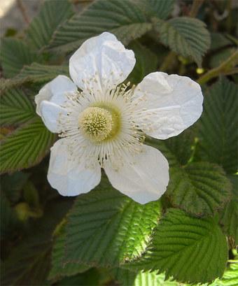 Rubushirsutus4