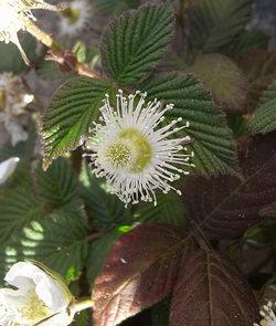 Rubushirsutus5