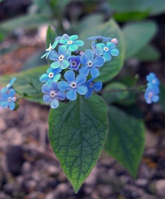 Brunneramacrophylla1_2