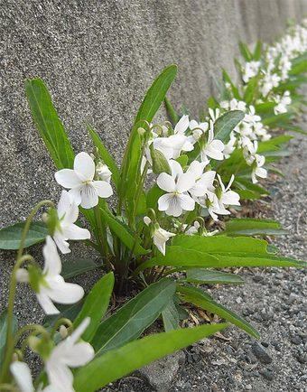 Vbetonicifoliaa4