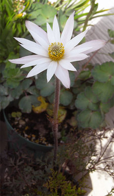 Atenuifolia18_2